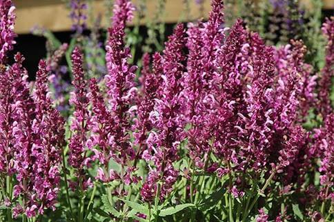 Sage/Salvia spp