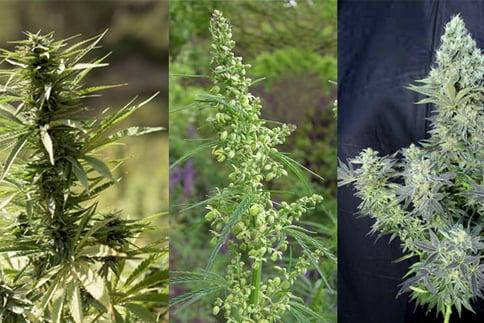 marijuana as an alternative medicine 3