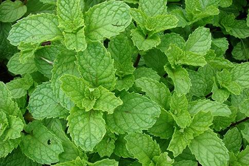 Mentha spp/Mint