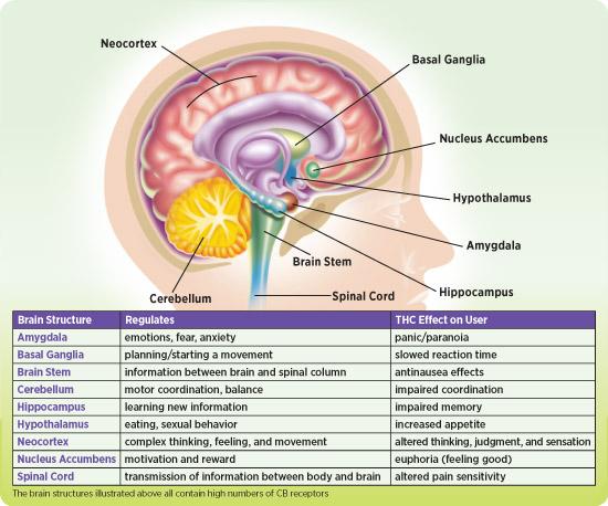 CB receptors in the brain